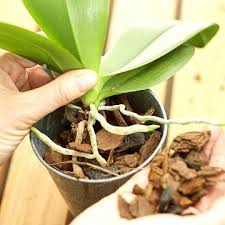 orchids care how to care for an orchid plant portalsmo club