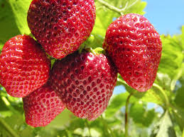 sequoia strawberry information u2013 tips on growing sequoia strawberries
