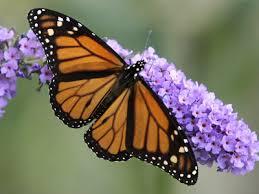 butterfly flowers butterflies orchid flowers