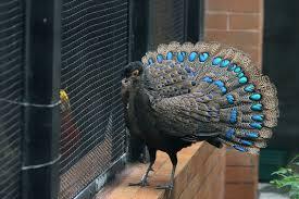 merak biru jenis burung merak drh fira sovica