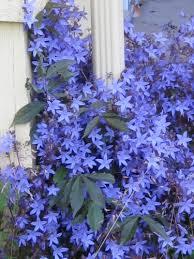 Blue Flower Vine - serbian bellflower campanula poscharskyana