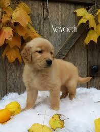 Comfort Retrievers For Adoption Golden Retriever Puppies For Sale Lancaster Puppies