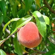 houston fruit tree sale heirloom fruit trees from stark bro u0027s heirloom fruit trees for sale
