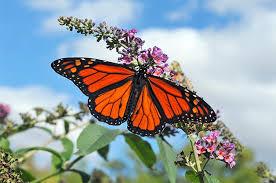 flowers that attract butterflies butterfly gardening