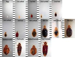 Can Bed Bugs Live In Water Bed Bug Identification Chart Want To Know If You Have Seen A