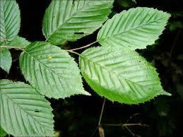 isu forestry extension tree identification american hornbeam