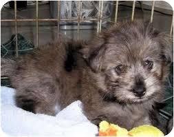 australian shepherd adoption reagan adopted puppy overland park ks yorkie yorkshire