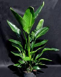 zz plant houseplant for sale online garden goods direct