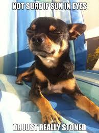Funny Chihuahua Memes - funny chihuahua memes google search chihuahua pinterest