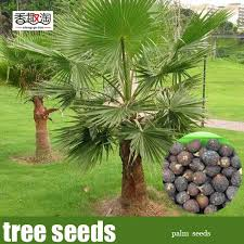 how to grow a palm tree how to grow palm trees in oklahoma