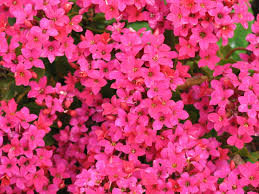 hot pink colour flowers by friends hot pink colour by lynda