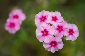 phlox flower phlox flowers affix free photo on pixabay