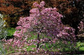 plants native to china database of common names of plants alphabetical lists