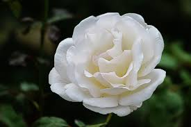 167 royalty free rose blooms images peakpx
