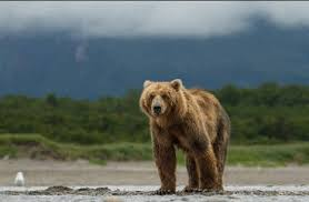 Animal Planet Documentary Grizzly Bears Full Documentaries - bears a gorgeous but untrustworthy new documentary from