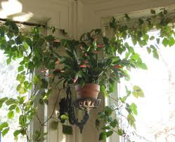 plant indoor tree plants outstanding indoor tree plants for sale