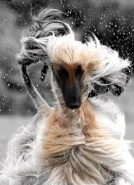 afghan hound stupid pin by mariana on animals pinterest afghan hound afghans