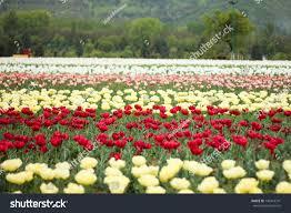 Tulip Field Tulip Field Kashmir India Stock Photo 130416341 Shutterstock