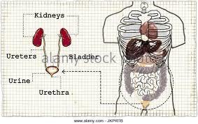 Urinary Bladder Anatomy And Physiology Abnormal Urinary Bladder Stock Photos U0026 Abnormal Urinary Bladder