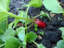 Plants That Repel Aphids by Plants That Repel Insects Gardenswag