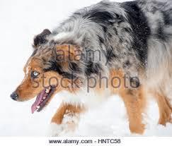 australian shepherd tri stunning blue eyed australian shepherd shepard tri color aussie