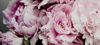 where to buy peonies peonies canvas wall icanvas