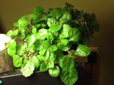 english ivy hedera helix ivy house plant common house plants