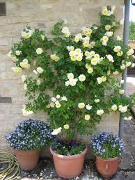 is it ok to plant climbing roses in a trough shaped planter