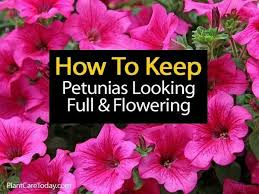 best 25 petunias ideas on pinterest insect repellent plants