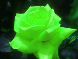 green roses kaino says green to y eternal
