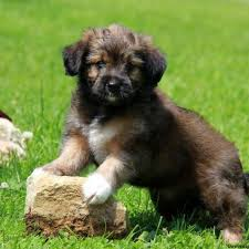 australian shepherd puppies for sale los angeles puppies for sale in pa find your perfect puppy at greenfield puppies
