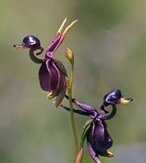 orchid flowers 2018 hot sale for home garden flying duck orchid flower seeds
