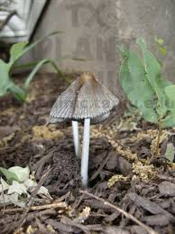 Are Backyard Mushrooms Poisonous Mushrooms In The Garden Beds Texas Plant Disease Diagnostic Lab