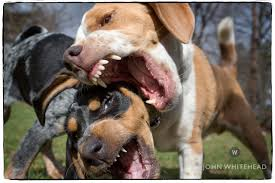 bluetick coonhound beagle blue tick beagle puppies pocket funny cat dog pictures backgrounds
