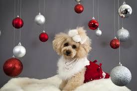cute dog christmas wallpapers download wallpaper dog christmas ornaments face holiday hd