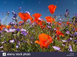 californian poppy california poppy gold poppy eschscholzia