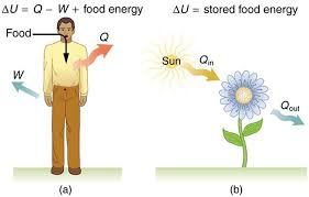 Picture Human Body The First Law Of Thermodynamics Boundless Physics