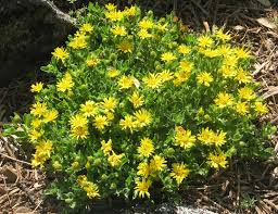 arkansas native plants calif native plants plants native calif pinterest aster