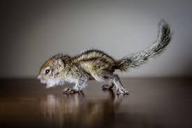 the iron ammonite raising rob the world u0027s cutest baby palm squirrel