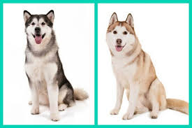australian shepherd vs husky 6 dog breed look alikes can you tell which is which american