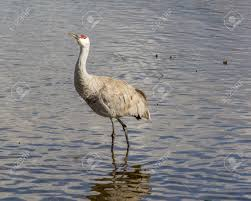 big gray bird with red head american crane on the birnaby lake