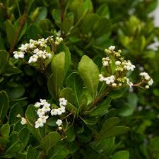 small white flowers 3 gal whorled class viburnum compact live shrub clusters of