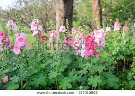 hollyhock flowers hollyhock flower stock images royalty free images vectors