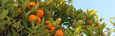 Backyard Fruit Trees Fruit Trees U0026 Citrus In Your Own Backyard Gill Landscape Nursery