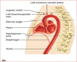 Behind The Ear Anatomy 014a Thorax Cage Thoracic Wall And Breast Anatomy Flashcards