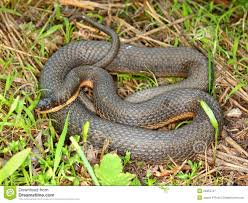 queen of snakes royalty free stock image image 5054706
