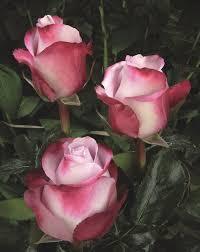 global roses global water picture zoeken rozen