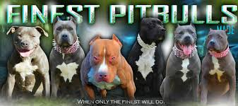 land of giants american pitbull terriers talking xxl pitbulls u0026 bully dog breeding with fpm kennels