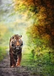 tiger walking along a jungle path photorator