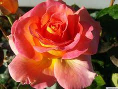 mardi gras roses rainbow happy trails photo i own an u should to